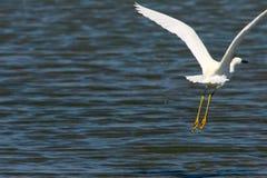 Gran Egret en vuelo fotografía de archivo libre de regalías