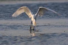 Gran egret que coge un pescado en la bahía de Jamaica Fotografía de archivo