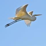 Gran Egret que vuela Imagen de archivo