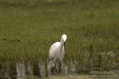 Gran egret, Srinagar, Cachemira, la India Fotografía de archivo libre de regalías