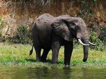 Gran elefante africano foto de archivo