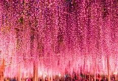 Gran enrejado púrpura de la glicinia en la noche en el parque de la flor de Ashikaga, Tochigi, Japón, Asia Imágenes de archivo libres de regalías