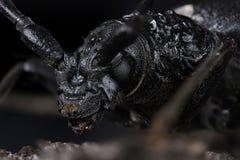 Gran escarabajo del Capricornio (cerdo de Cerambyx) imagenes de archivo