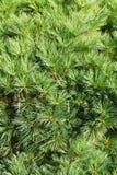 gran för bakgrundsfilialbarrträd sörjer Arkivbild