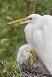 Gran familia del Egret Fotos de archivo