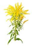 Gran flor amarilla oscura Fotografía de archivo libre de regalías