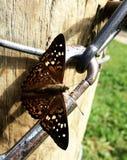 Gran fritillary spangled, cybele de Speyeria Foto de archivo