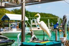 Gran garceta blanca en Islamorada, llaves de la Florida Foto de archivo