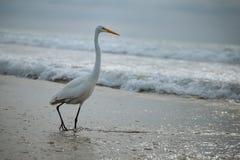 Gran garceta en la resaca del océano Imagen de archivo