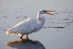 Gran garceta - Merritt Island Wildlife Refuge, la Florida Imagen de archivo libre de regalías