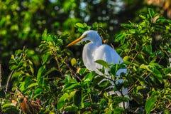 Gran garceta que descansa sobre una rama en la Florida, los E.E.U.U. Foto de archivo libre de regalías