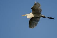 Gran garceta que lleva un pescado cogido como vuela en un cielo azul Fotografía de archivo