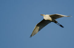 Gran garceta que lleva un pescado cogido como vuela en un cielo azul Fotografía de archivo libre de regalías