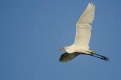 Gran garceta que lleva un pescado cogido como vuela en un cielo azul Fotos de archivo libres de regalías