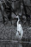 Gran garceta que se coloca en una pierna en blanco y negro Imagen de archivo libre de regalías