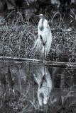 Gran garceta que se coloca en una pierna - blanco y negro foto de archivo libre de regalías