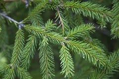 Gran garnering, vykort, jul, ferie, tapet, bakgrund, träd, evergreen, spetsiga visare arkivbilder