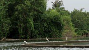 Gran garzetta blanco del egretta de la garceta o garza de gran blanco que busca para los pescados y las ranas en un pantano verde metrajes