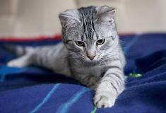 Gran gato hermoso que mira para arriba, retrato del gatito joven gris agradable, gatito que mira para arriba, gato juguetón Fotografía de archivo
