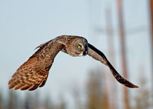 Gran Gray Owl Imagen de archivo