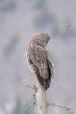 Gran Gray Owl Perched During Snow Fall Imagen de archivo