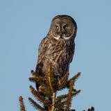 Gran Gray Owl Perches en el top del árbol Fotos de archivo libres de regalías
