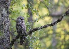 Gran Grey Owl Imagen de archivo