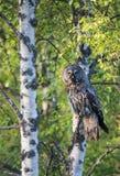 Gran Grey Owl Foto de archivo libre de regalías