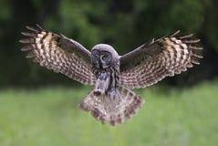 Gran Grey Owl Fotografía de archivo