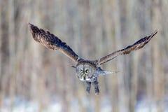 Gran Grey Owl Imagen de archivo libre de regalías