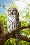 Gran Grey Owl   en el bosque Imagen de archivo