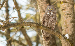 Gran Grey Owl en un árbol en invierno Fotografía de archivo