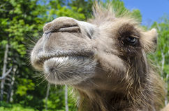 Gran headshot del camello Foto de archivo