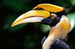 Gran Hornbill Foto de archivo libre de regalías