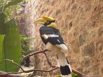Gran Hornbill indio - bicornis del Buceros Imagenes de archivo