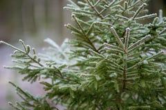 Gran i en förkylning och en frostig skog Fotografering för Bildbyråer