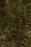 Gran i skogen royaltyfria foton
