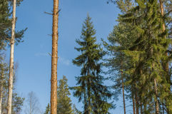 Gran i skogen Arkivbilder