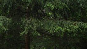 Gran i skogen lager videofilmer