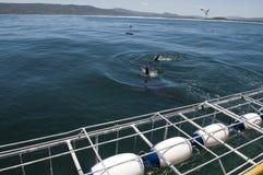 Gran isla próxima el tintóreo del tiburón blanco Foto de archivo libre de regalías
