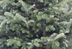 gran isolerad treewhite Royaltyfria Foton