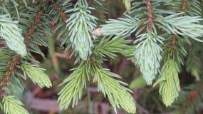 gran isolerad treewhite Arkivbilder