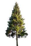 gran isolerad treewhite Arkivfoton