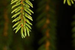 gran isolerad treewhite Fotografering för Bildbyråer