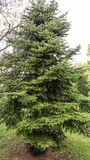 gran isolerad treewhite Arkivfoto