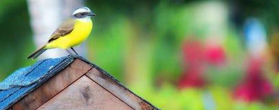 Gran Kiskadee en casa en Costa Rica Imagen de archivo libre de regalías