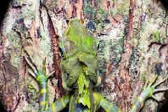Gran lagarto de Anglehead Imagen de archivo libre de regalías