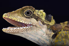 Gran lagarto de la cabeza del ángulo (grandis de Gonocephalus) fotografía de archivo libre de regalías
