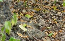 Gran lagarto plateado, Kenia, África Imagen de archivo