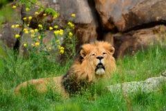 Gran león rojo que descansa en la hierba imagen de archivo libre de regalías